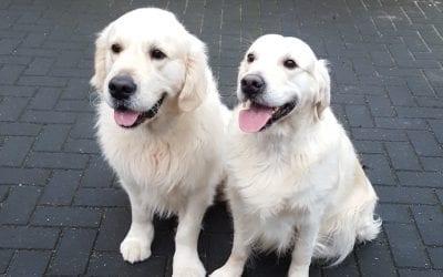Nieuwe puppy's in maart!